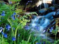 Bluebell cascade