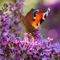 Peacock Butterfly on Budleigha