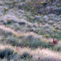 Roe Deer at Eskmeals