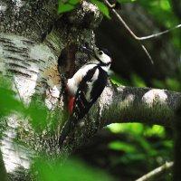 woodpeck on Campsite