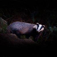 Badger in Eskdale